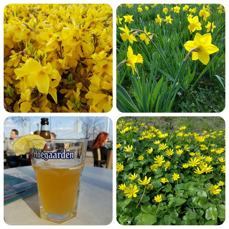 Photo by me. Photo: Diána Rigó - in #Budapest #Hungary #springtime #spring #yellow #flowers #Hoegaarden #beer