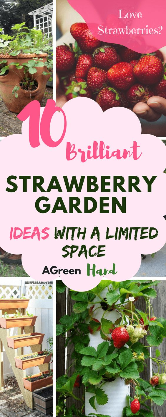 There will always be a way to grow strawberries. Small gardens can benefit from vertical forms of strawberry planting. In addition, you can use terracotta pots, nursery pots, and even a worn-out wheelbarrow.