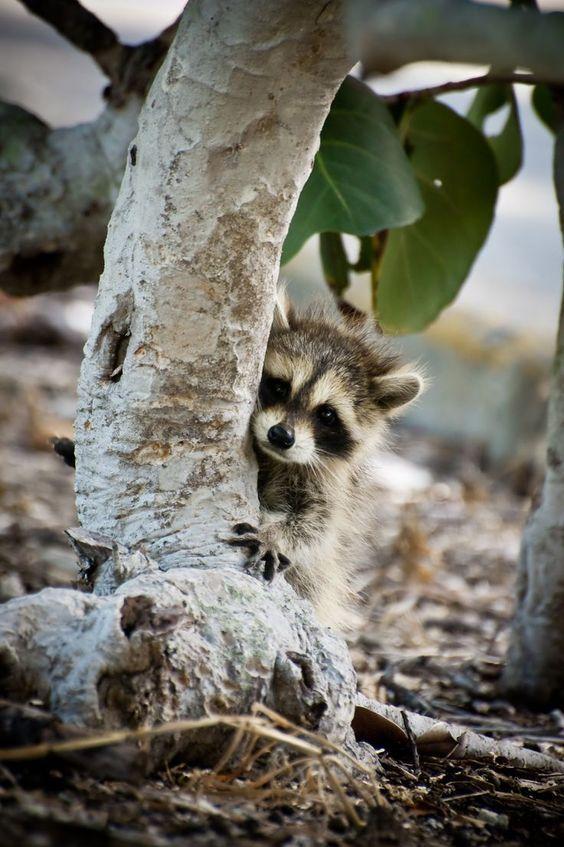 Baby raccoon hiding behind a tree