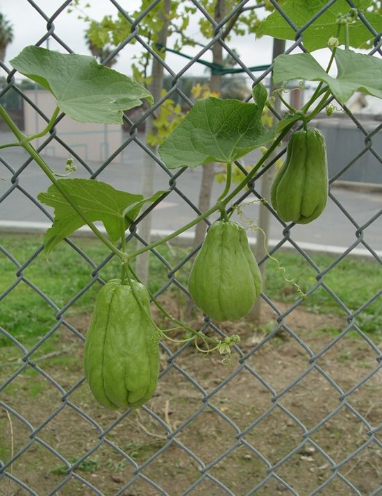 Chayote squash: Keep a whole squash in a cool, dark place until February, when the sprout should be 6'' long. Plant in soil near a climbable structure. Harvest fruit September/October. Edible fruit, stem, leaves, and root. Harvest tubercles 2 years after planting. After frost kills leaves, harvest vines to make garden twine & rope.