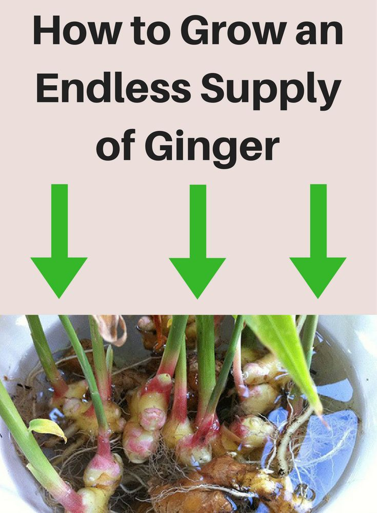 Ginger is very suitable for growing at home because it does not require a large amount of sunlight, and it allows some parts to be left growing while others are used.