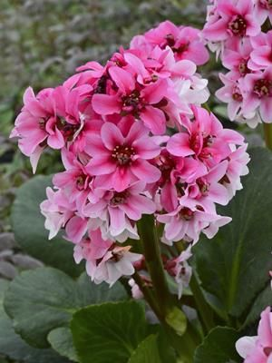 Bergenia 'Sakura' Photo courtesy of Walters Gardens, Inc