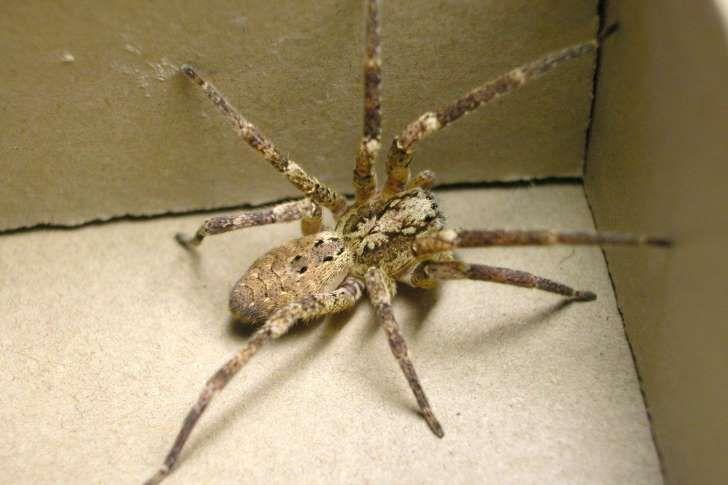 Alle Webspinnen sind giftig, doch nicht für jeden.Insgesamt gibt es 77 Arten von Kräuseljagdspinnen, die in zwölf Gattungen unterteilt sind
