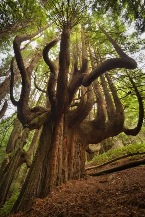 Candelabra Tree, Shady Dell, Mendocino CountyAccess to the Shady Dell forest at the southern border of Sinkyone Wilderness State Park was improved in 2016 with the building of the 2.3-mile Peter Douglas Trail that extends the Lost Coast Trail and takes you into a forest of ancient redwoods, many of them shaped like candelabras. Photo: Save The Redwoods League / Mike Shoys