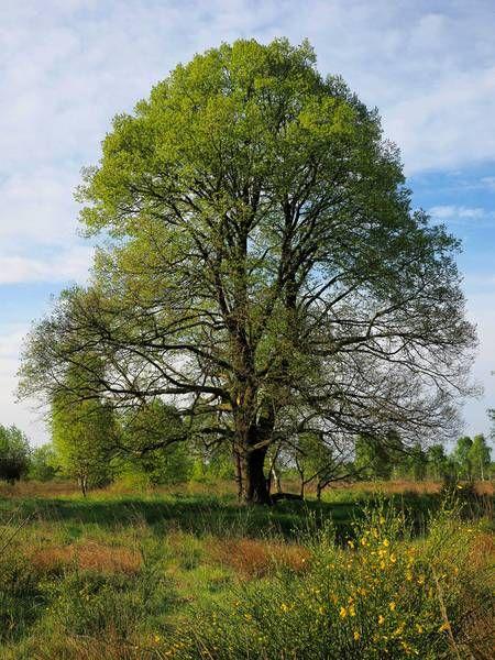 Baum des Jahres 2016: Die Winter-Linde