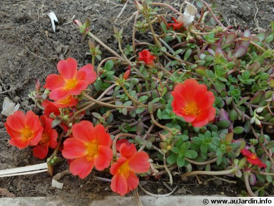 Pourpier à grandes fleurs, Chevalier-d'onze-heures, Portulaca grandiflora
