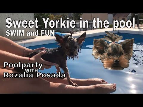 Here's my latest video! Sweet Yorkie in the pool 🐶| swim and fun 🏊😃 | Poolparty with Rozalia Posada https://youtube.com/watch?v=u022_kPDHfM
