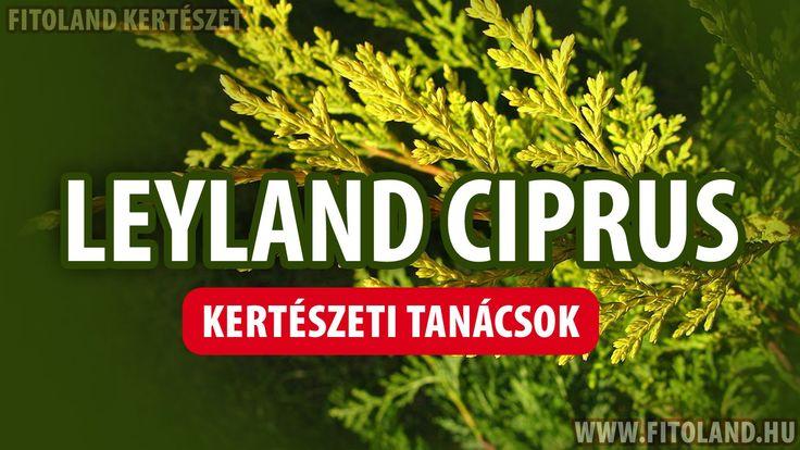 Mit kell tudni a leylandi ciprusról? - kertészeti tanácsok