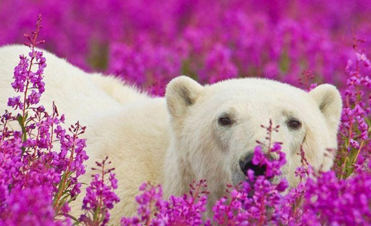 Até eles! Ursos-polares se esbaldam em campos floridos no Canadá http://r7.com/Ikwr