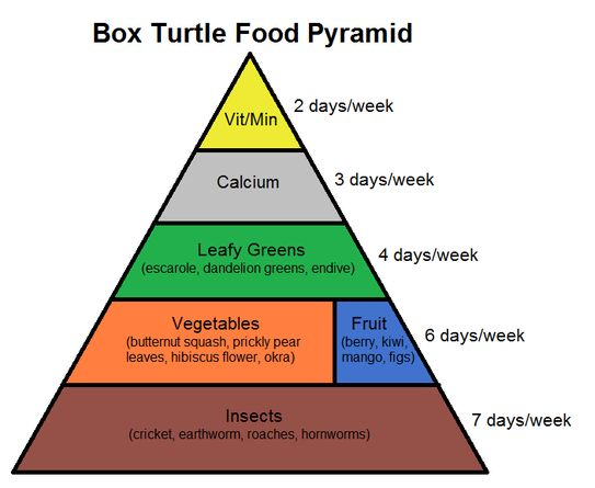 Learn about box turtle nutrition with this box turtle food pyramid!