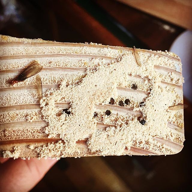 This is perfect example of brand new infestation starting after a termite swarm. The swarming termites squeezed in the joint of this 2x4 framing, bit their wings off and bored into the wood. There's a fine powder left behind from drilling into the wood and it can typically be seen falling out from between the wood joints. #localrealtors - posted by Bug Central® https://www.instagram.com/bugcentral - See more Real Estate photos from Local Realtors at https://LocalRealtors.com