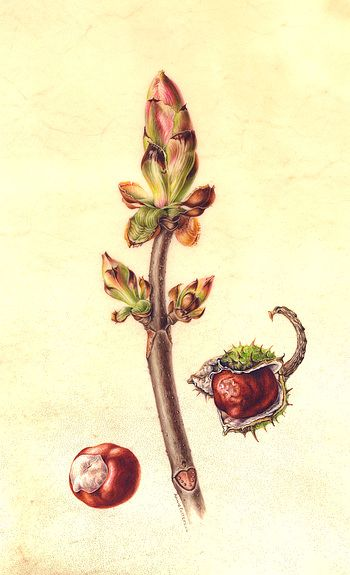 Horse Chestnut bud and fruits