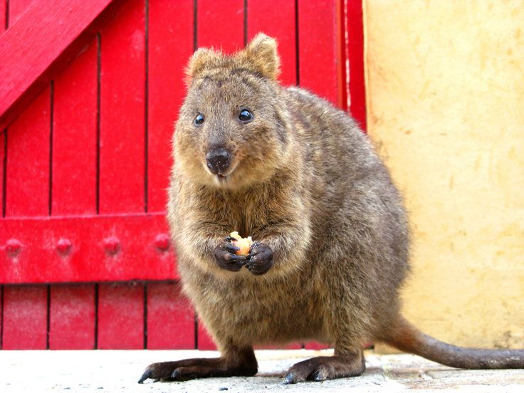 {Quokka} these adorable creatures frolic on Rottnest Island ... kinda want to go there