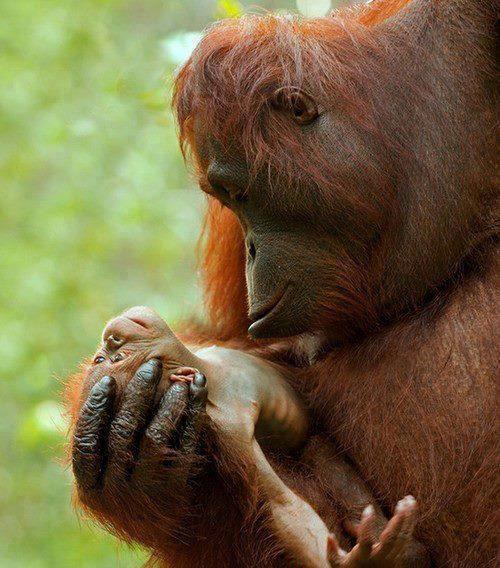 An Orangutan mother's eyes locked on her precious newborn. ♥