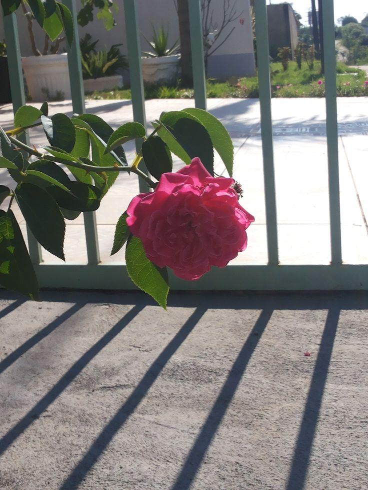 É uma das flores mais renomadas e semeadas. Linda e encantadora.