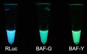 (発光蛋白質)ルシフェリン添加による試験管内での発光 写真独立行政法人 産業技術総合研究所