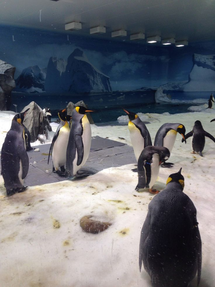 Chilling with the penguins - Seaworld - Gold Coast #travelling #australia