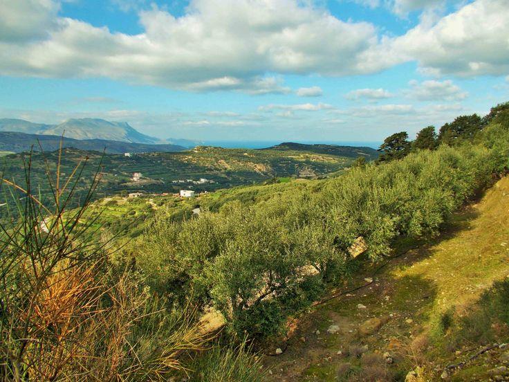 Kissamos bay seen from Polyrrinia olive groves