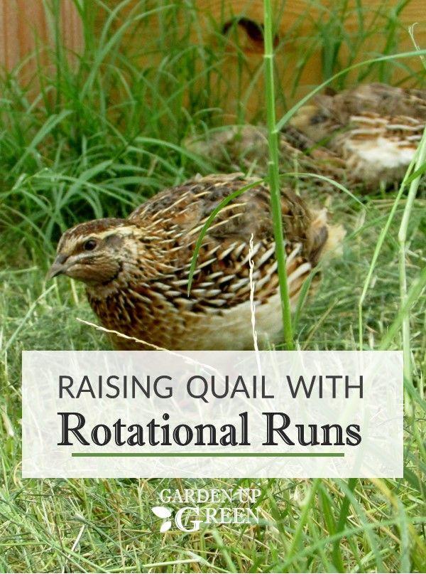 Garden Up Green - Startle Garden and Quail | Raising quail ...