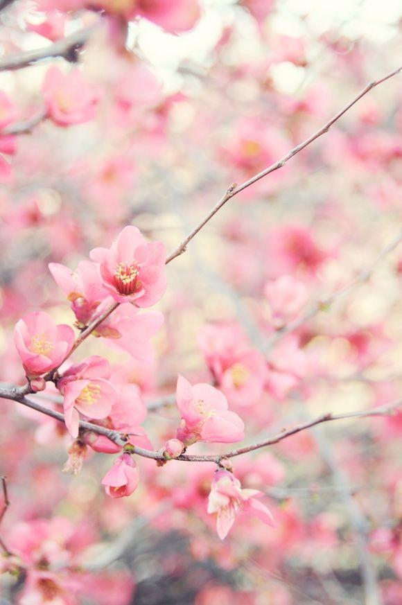 Sakura #sakura #cherry_blossoms