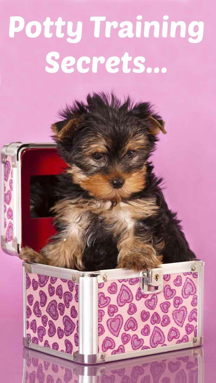 Doggy Dan S Kind Gentle Dog Training Method Yorkshire Terrier Puppies Yorkie Puppy Cute Dog Pictures