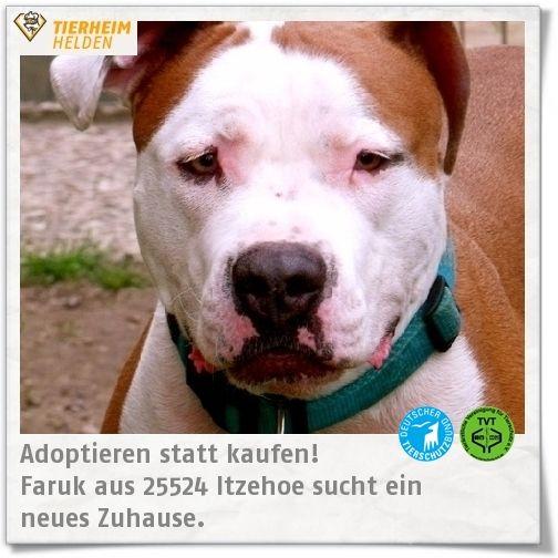 Faruk oder Ruky, wie er liebevoll genannt wird, hat den größten Teil seines Lebens im Tierheim Itzehoe verbracht.   http://www.tierheimhelden.de/hund/tierheim-itzehoe/am_staff_mix/faruk/4197-0/  Faruk kann in eine erfahrene und verantwortungsvolle Familie ohne Kinder sehr glücklich machen. Faruk ist mit anderen Hunden und Katzen verträglich. Jedoch muss er noch viel lernen und gut ausgelastet werden, damit es nicht zu gefährlichen Situationen kommt.