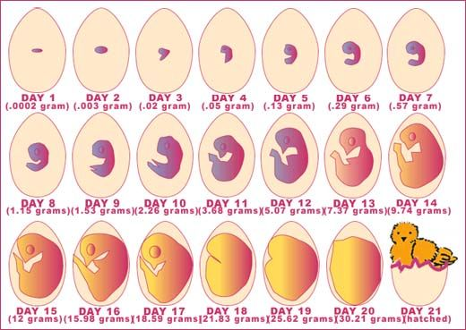 Image detail for developing stages of chick in the egg - helps when you candle the eggs.