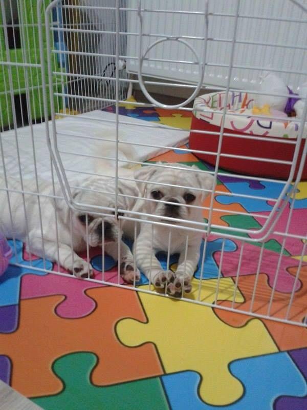 Beyaz pug mops yavrusu 1500 TL