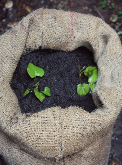 Sweet Potatoes In Burlap Bag Urban Garden Pinterest
