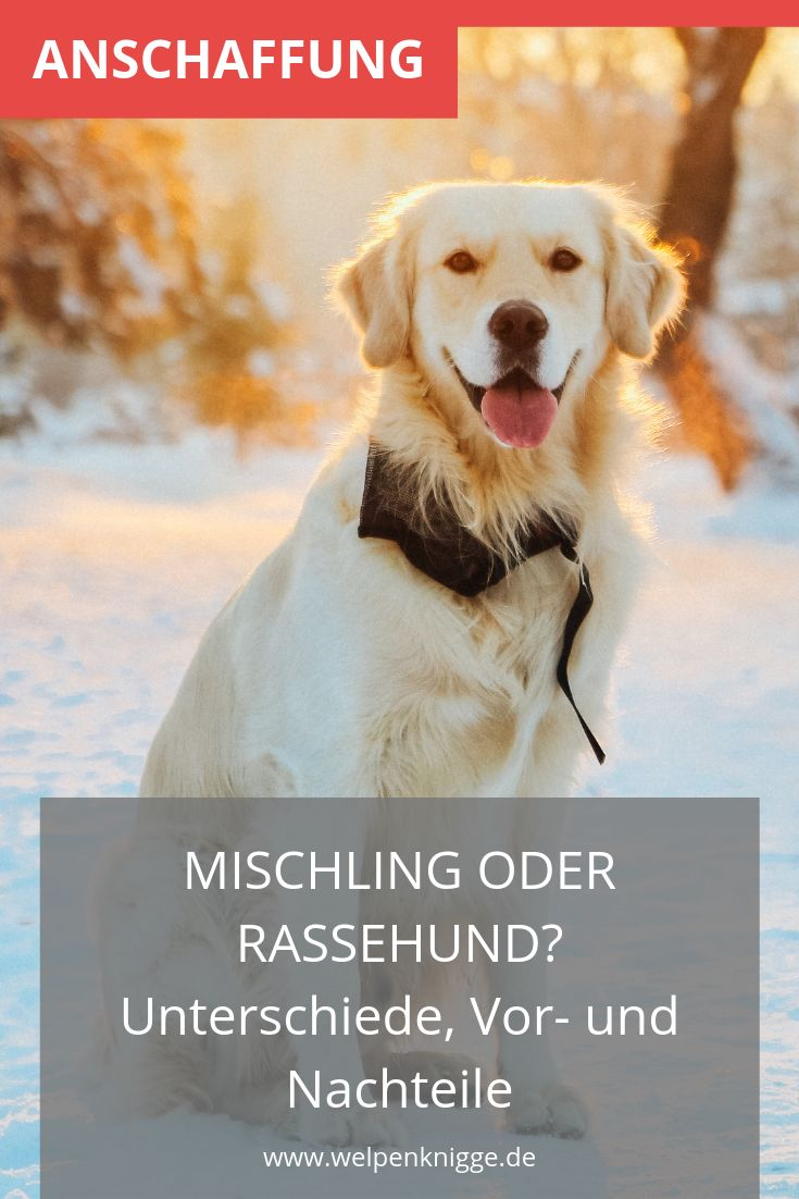 LabradorWelpen Retriever welpen, Welpen, Hundebaby