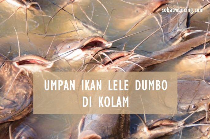 Umpan Ikan Lele Dumbo Di Kolam Yang Lebih Cepat Strike Predator Umpan Pancing Ikan