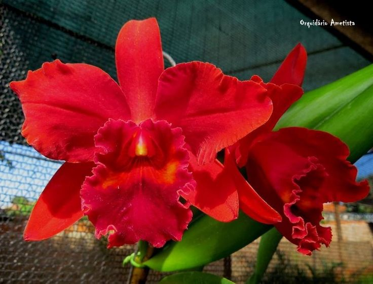 A Famosa Orquídea Vermelha -  Blc Red Intense!! - R$ 59,90