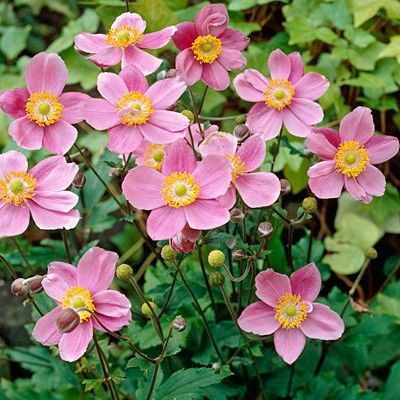 Japanese Anemone September Charm Perennial Full Sun