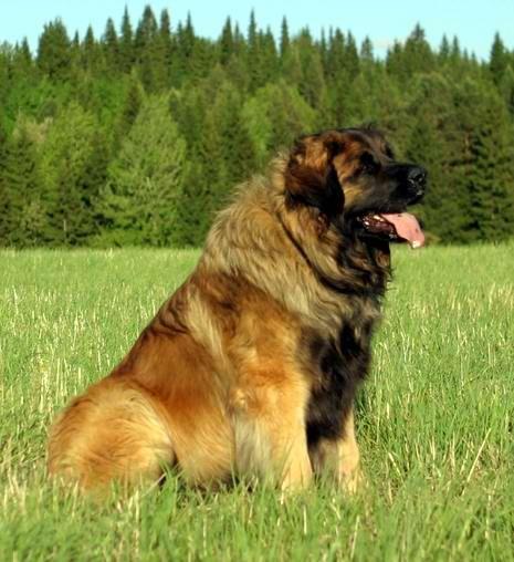 """еонбергер или, как его еще называют, """"длинношерстный дог"""" — это крупная порода служебных собак. Высота кобеля в холке — от 76 см, вес — 59-77 кг. Пятое место."""