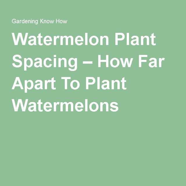 Watermelon Plant Spacing – How Far Apart To Plant Watermelons