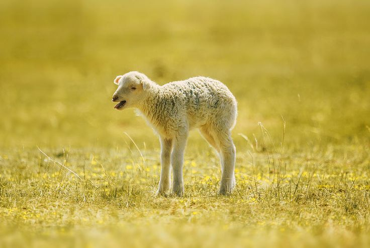 Affecting Lamb Photograph by Oksana Ariskina. Farm country animals  #OksanaAriskina #ArtForHome #FineArtPrints #InteriorDesign #PrintsForSale #Sheep #Farm #FairyTale #Lamb #Rural #Yellow #Summer #Spring #Cute #Baby