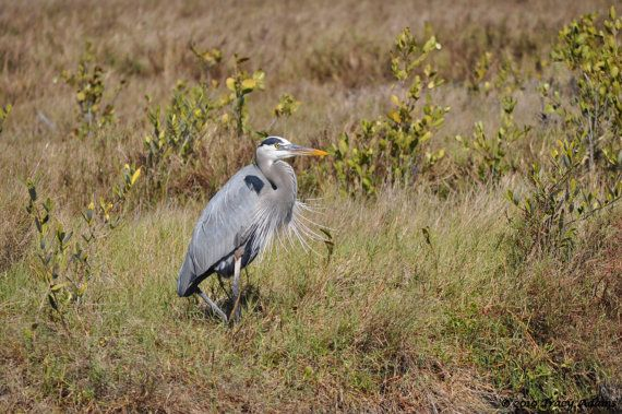 Resting Great Blue Heron by photosbytyler on Etsy