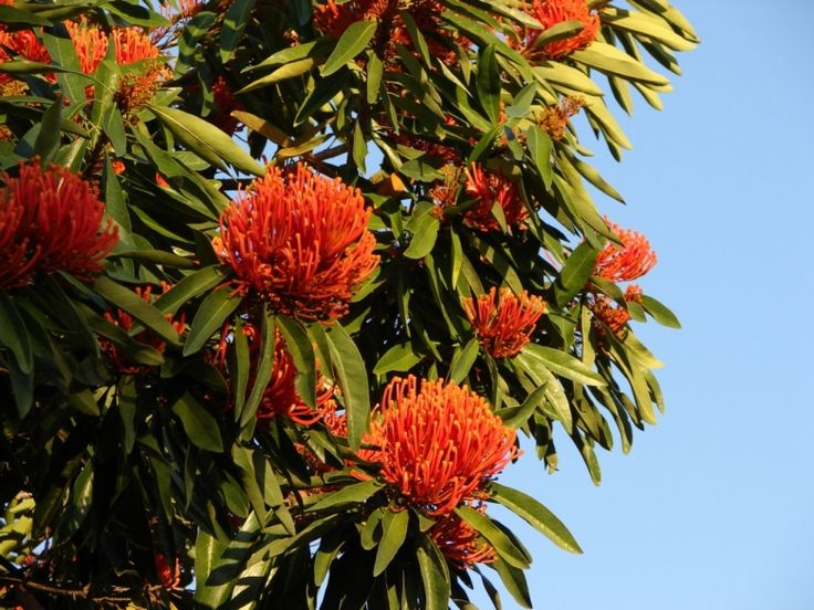 flammeum (Queensland Tree Waratah/Red Silky Oak) Mature Height: 10-15m Sizes estimated at 10 years, and may vary depending on growing conditions. Aspect: Full sun   A native tree from the Atherton tablelands; requires a subtropical climate with even rainfall. Masses of bright red flowers showing through the foliage in late Winter.