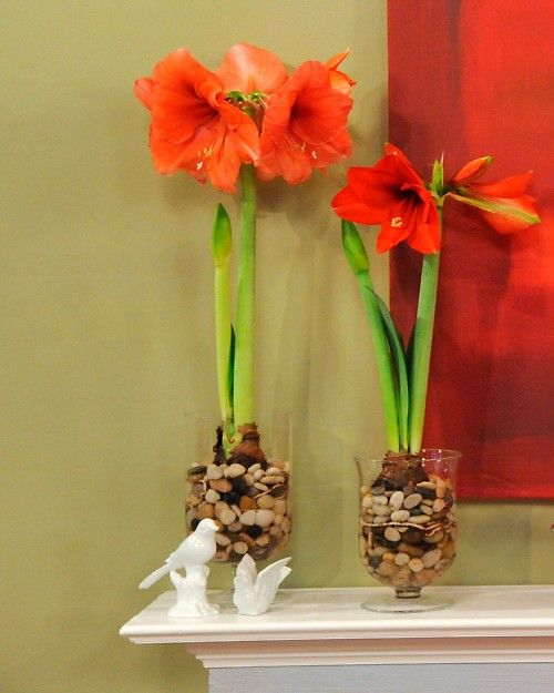 1000 images about hippeastrums on pinterest amaryllis for Amaryllis deco