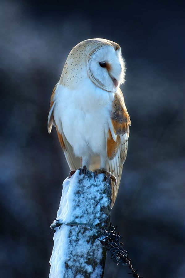 Barn Owl looking around with a bored expression on his face while standing on a post.