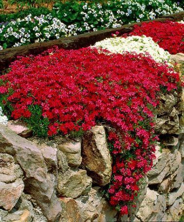 Balkon Blumen: Mauerpfeffer – Ein Retter für Bienen, Hummeln + Schmetterlinge