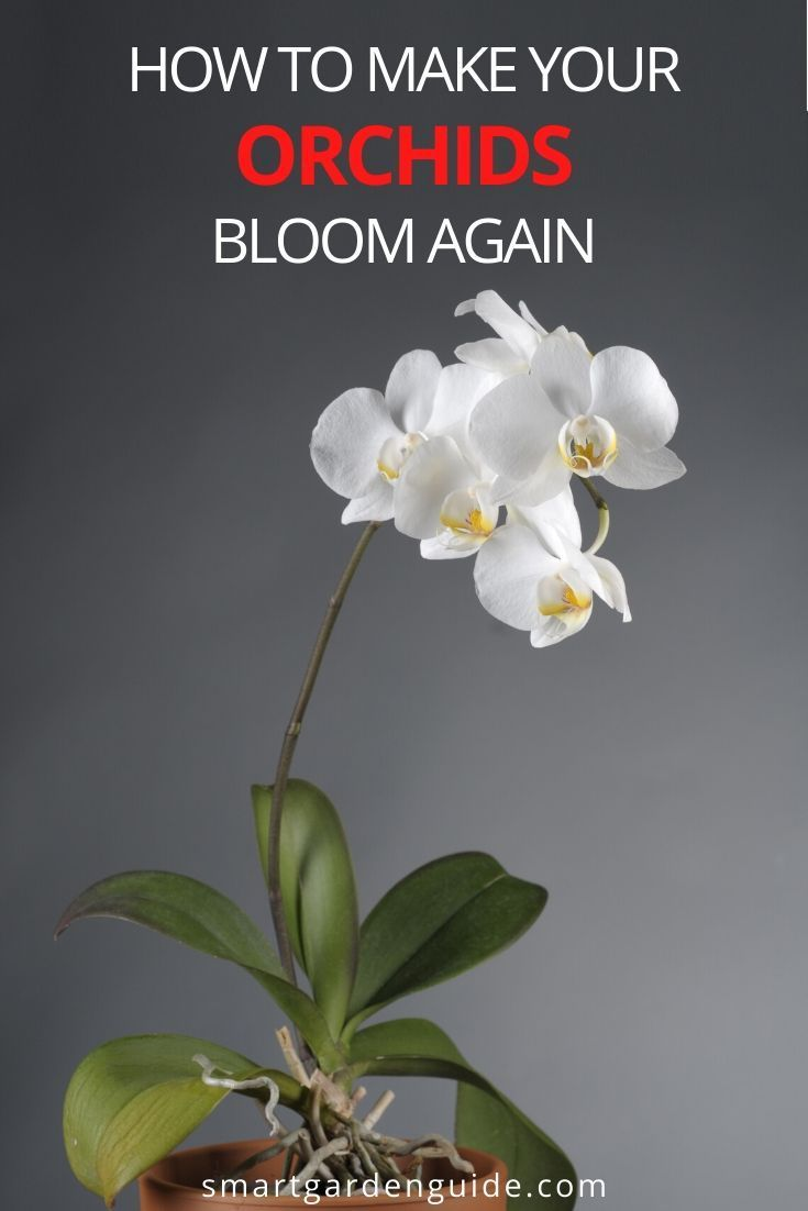 4f6018dc9ed7559575f35c08d4ceaac6 - How Do I Get My Phalaenopsis Orchid To Rebloom