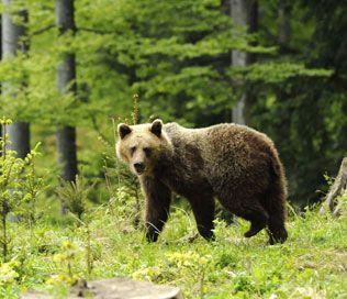 """Slowakije: Fantastische vakantie in de Lage Tatra. Wie beren, lynxen, wolven en andere zeldzame West-Europese dieren in het wild wilt zien, hoeft niet naar het wilde westen van Noord-Amerika te reizen. In Slowakije, het land van bergen, bossen en grotten, zijn ze nog steeds te vinden. Op de door een ervaren gids begeleide """"berensafari"""" beleef je de bruine beer in zijn absoluut natuurlijke habitat. Je verblijft in een jagershut. #travel by #inspiration"""