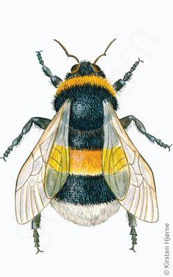 Jordhumle - Bombus terrestris - Small Garden Bumble Bee