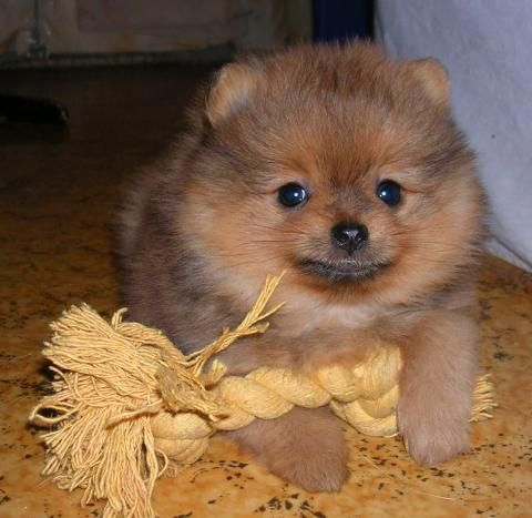 Breeds of small dogs - http://predlog.com/breeds-of-small-dogs-5.html  #Animals, #BreedsOfDog, #HOWTO