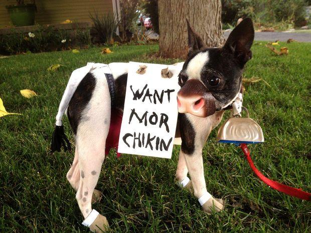 boston terrier chick filet cow terrier - Halloween Costumes In Boston