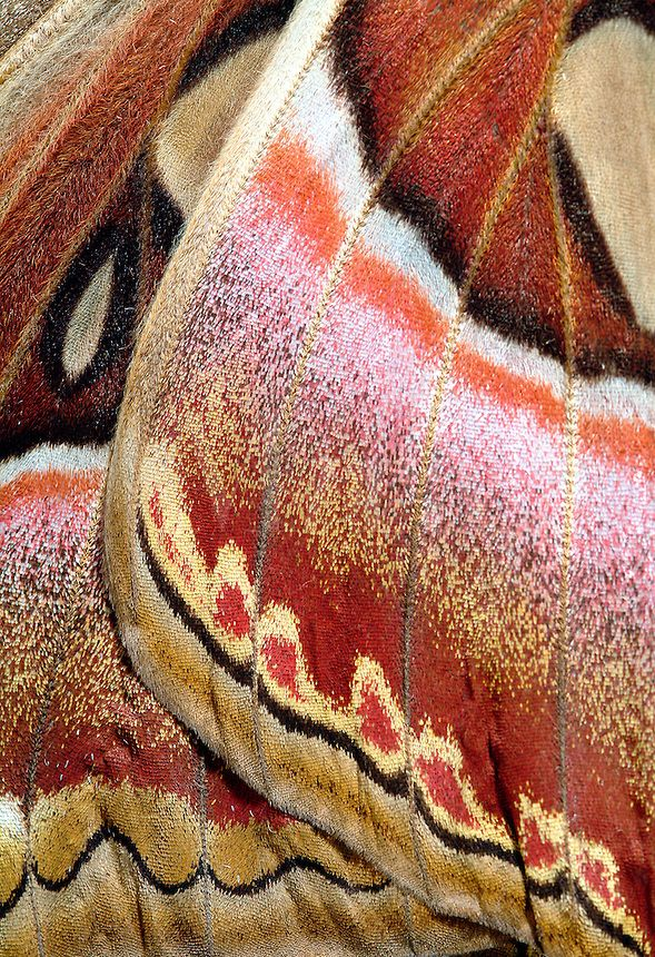 ECU of Large Atlas Moth Showing Wing Scales, Attacus atlas, Phillipines