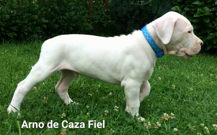 Dogo argentino male puppy for sale! De Caza Fiel kennel. Champion bloodline, champion sired, born 15.5.2016.