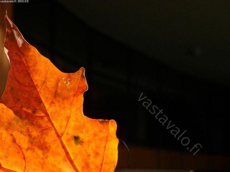Lehti - lehti vaahtera suoni ruoti oranssi luonto syksy  ruska