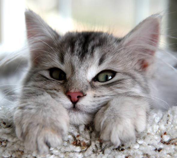 Siberian kitten.